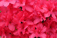 Piękna czerwona azalia Obraz Stock