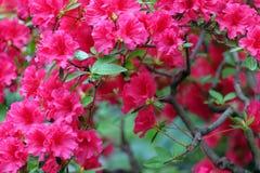 Piękna czerwona azalia Obrazy Stock