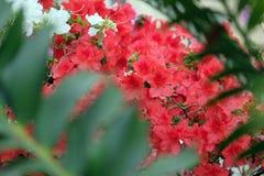 Piękna czerwona azalia Fotografia Stock