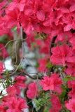 Piękna czerwona azalia Zdjęcie Stock