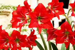 Piękna czerwona leluja Obrazy Royalty Free