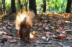 Piękna czerwona wiewiórka Obrazy Stock