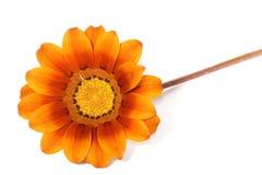 piękna daisy zdjęcia royalty free