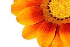 piękna daisy zdjęcie stock