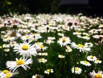 piękna daisy Fotografia Stock