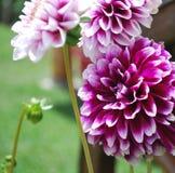 Piękna dalia w ogródzie Fotografia Royalty Free
