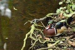 Piękna Floryda drewniana kaczka Zdjęcia Stock