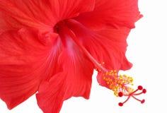 piękna hibiskus czerwony Obraz Stock