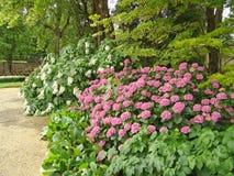 piękna hortensia fotografia royalty free