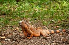 Piękna iguana Zdjęcia Royalty Free