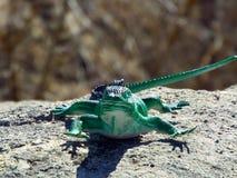 piękna jaszczurka Fotografia Stock