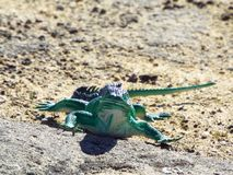 Piękna jaszczurki zabawka Zdjęcia Stock