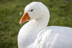 piękna kaczka white Zdjęcie Stock