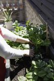 Pi?kna kobieta bierze opiek? miastowy warzywo ogr?d obrazy royalty free