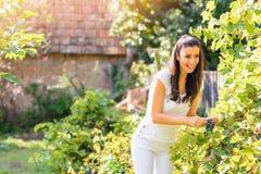 Piękna kobieta zbiera win winogrona w jesieni Fotografia Royalty Free