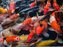 Piękna kolorowa galanteryjna karp ryba Obraz Stock