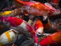 Piękna kolorowa galanteryjna karp ryba Zdjęcia Stock