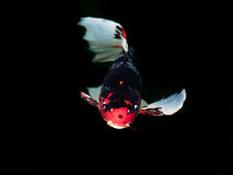 Piękna kolorowa galanteryjna karp ryba Zdjęcie Royalty Free