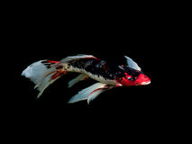 Piękna kolorowa galanteryjna karp ryba Obraz Royalty Free