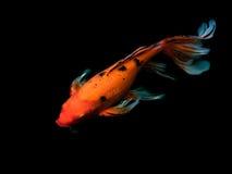 Piękna kolorowa galanteryjna karp ryba Obrazy Stock