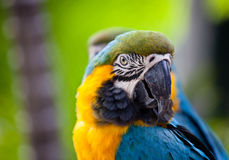 piękna kolorowa papuga Zdjęcie Royalty Free