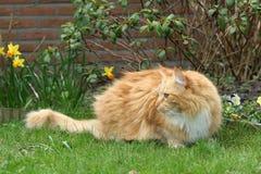 piękna kot czerwony Fotografia Stock