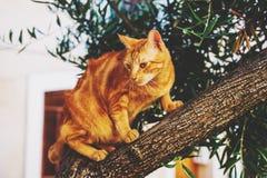 piękna kot czerwony Zdjęcie Stock