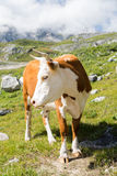 piękna krowa Fotografia Royalty Free