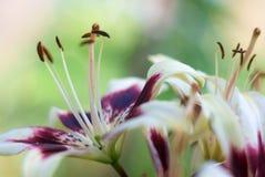 Piękna kwiat leluja Zdjęcie Royalty Free