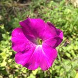 Piękna kwiat purpur petunia Zdjęcie Royalty Free