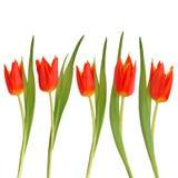 piękna kwiatu czerwieni tulipan Zdjęcie Stock