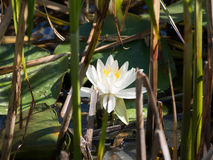 piękna lily wody Obraz Royalty Free
