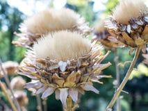 Piękna makro- fotografia wysuszeni kwiaty Cynara cardunculus Fotografia Royalty Free