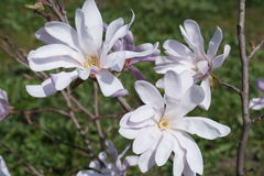 Piękna mauve magnolia Fotografia Stock