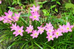 Piękna menchia kwitnie w ogródzie Zdjęcie Stock
