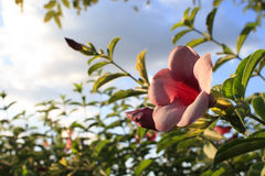 Piękna menchia kwitnie w parku Fotografia Royalty Free