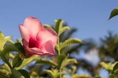 Piękna menchia kwitnie w parku Zdjęcie Stock