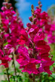 Piękna menchii i magenta orchidea w naturze obrazy stock