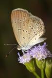 piękna motyliego kwiatu trawa Obrazy Royalty Free