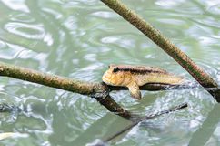 Piękna Mudskipper ryba Obraz Stock