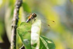 Piękna natury scena z motylem Dragonfly Obraz Royalty Free