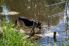 Piękna niemiecka pasterskiego psa woda pitna od stawu Obrazy Royalty Free