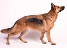 piękna niemieckiej shepherd portret Zdjęcia Stock