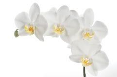 piękna orchidea Fotografia Stock