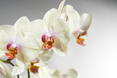 piękna orchidea Fotografia Royalty Free