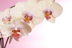 piękna orchidea Zdjęcia Royalty Free