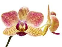 piękna orchidea Zdjęcia Stock