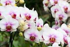 Piękna orchidea w ogródzie Zdjęcie Royalty Free
