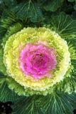 Piękna ornamentacyjna kapusta w krajobrazowym projekcie Fotografia Stock