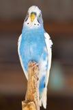 Piękna papuga 1 zdjęcie stock